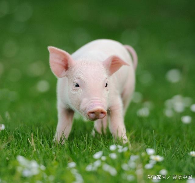 七零后明年本命年属猪
